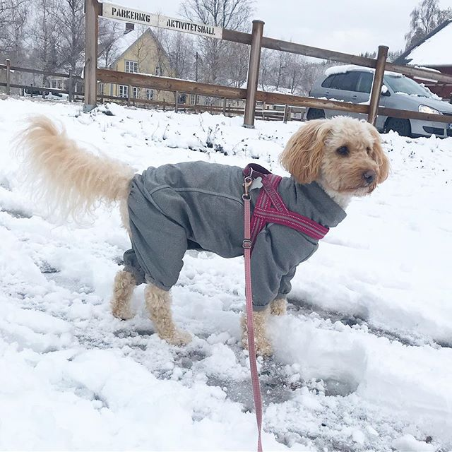 Sista dagen på lägret, idag blir det agility. Super kul!!! Inatt kom det ännu mer snö, mysigt men blött! ️⋆ ⋆ ⋆ #Lilo #disney #cockerpoo #cockapoo #pudelmix #dog #dogtraining #dogsofinstagram #dogoftheday #reachinggoals #ilovemydog #doggoals #gooddog #doglife #hundträning #hund #activedog #aktivhund #agility #snö #snow #snowdog #kyrkekvarn #läger #hundläger #bestfriendgoals #followme #sverigeshundungdom #hurtta #hurttacollection