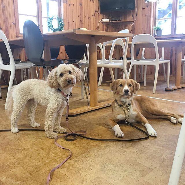 Bästa tjejerna på läger! Så roligt, med massa hundträning. @supernova.toller ⋆ ⋆ ⋆ #Lilo #disney #cockerpoo #cockapoo #pudelmix #dog #dogtraining #dogsofinstagram #dogoftheday #reachinggoals #ilovemydog #doggoals #gooddog #doglife #hundträning #hund #activedog #aktivhund #hundläger #sverigeshundungdom #kyrkekvarn #followme #bestfriendgoals #bestfriends #mansbestfriend