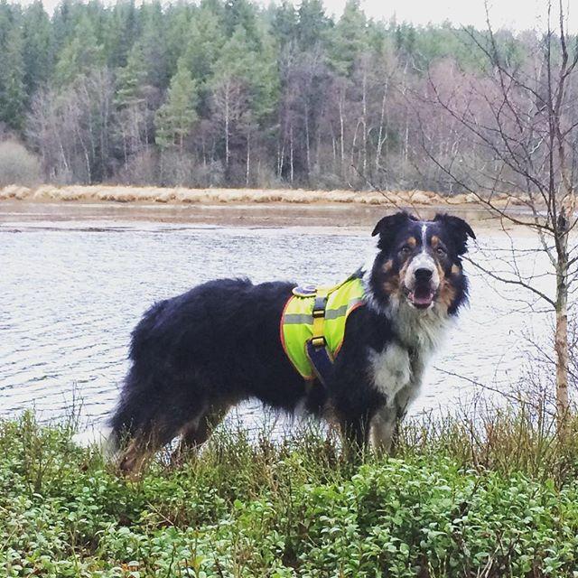 He brightens even the grayest of days  #sundhundmat #svansvift #färskfoder #elitblandningtillminaelithundar #pielaholisticdogs #nutrolinlife #hundskolorna #agility #agilitydog #bordercollie #bestdogever #mybeautifulboy #myking #alwaysbymyside #pälskling #hundliv #hundträning #happy #awesome #love #kyrkekvarn #doglife #dogsofinstagram #ilovemydog #bestwoof