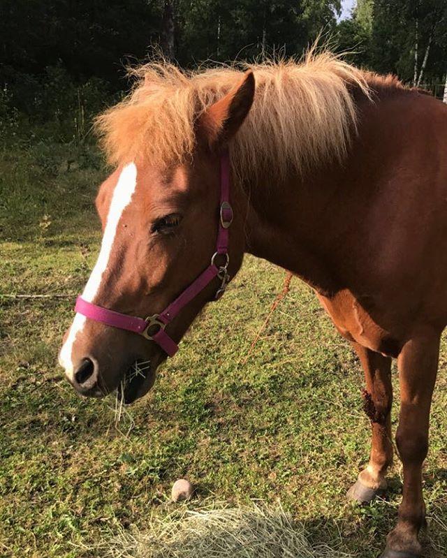 #icelandichorse #islandshäst #horse #kyrkekvarn #kyrkekvarnsislandshästar