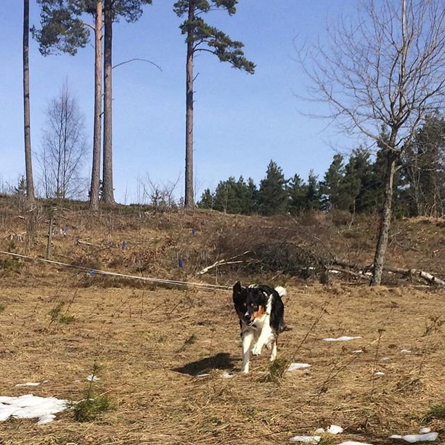 Mitt vackra bushjärta Det tar allt lite på snön nu iaf! #sundhundmat #svansvift #pielaholisticdogs #nutrolinlife #hundskolorna #kyrkekvarn #bordercollie #bordercolliesofinstagram #dogsofinstagram #dogoftheday #mybeautifulboy #happy #love #amazing #iphoneonly #weeklyfluff #pälskling