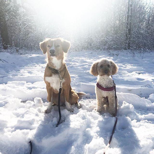 Nu åker vi hemåt från en super helg tillsammans med bästa @supernova.toller Super bra instruktörer som get oss en massa bra tips och trix att jobba vidare med. ️⋆ ⋆ ⋆ #Lilo #disney #cockerpoo #cockapoo #pudelmix #dog #dogtraining #dogsofinstagram #dogoftheday #reachinggoals #ilovemydog #doggoals #gooddog #doglife #hundträning #hund #activedog #aktivhund #bestfriends #kyrkekvarn #sverigeshundungdom #bestfriendgoals #followme