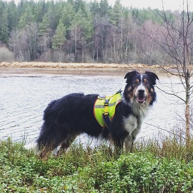 Repost @flizan ⠀ . . .⠀ He brightens even the grayest of days ⠀ #sundhundmat #svansvift #färskfoder #elitblandningtillminaelithundar #pielaholisticdogs #nutrolinlife #hundskolorna #agility #agilitydog #bordercollie #bestdogever #mybeautifulboy #myking #alwaysbymyside #pälskling #hundliv #hundträning #happy #awesome #love #kyrkekvarn #doglife #dogsofinstagram #ilovemydog #bestwoof