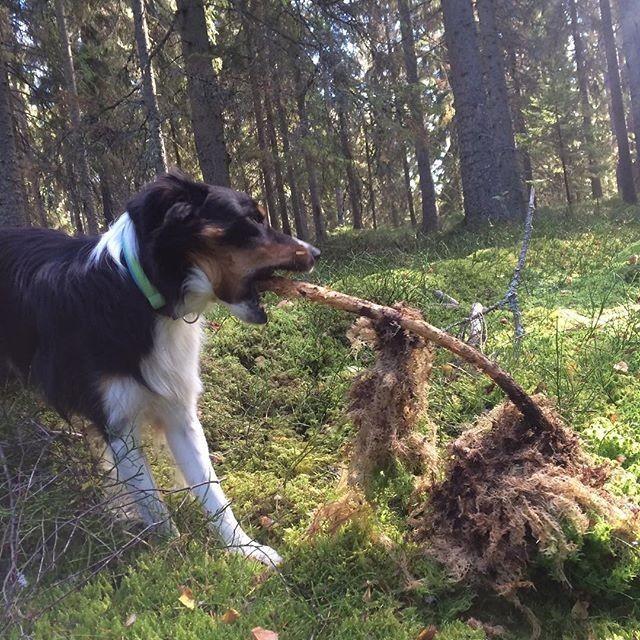 Repost @flizan ⠀ . . .⠀ Späjz hittar leksaker och pinnar och jag hittar trattisar #sundhundmat #svansvift #färskfoder #elitblandningtillminaelithundar #pielaholisticdogs #nutrolinlife #hundskolorna #kyrkekvarn #bordercollie #playtime #trattkantareller #forrestwalks #agilitydog #bestdogever #mybeautifulboy #alwaysbymyside #doglover #hundliv #pälskling