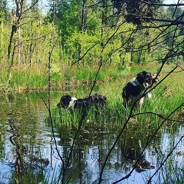 Repost @flizan . . . Doppa sig lite i kanalen vid Jaktstugan var skönt efter dagens långprommis ️ #sundhundmat #svansvift #elitblandningtillminaelithundar #färskfoder #pielaholisticdogs #nutrolinlife #kyrkekvarn #alwaysbymyside #bordercollie #bordercolliesofinstagram #brothers #happy #awesome #love #ilovemydog #mybeautifulboys #beautifulsweden #bestplace #amazingday #hundar #pälskling